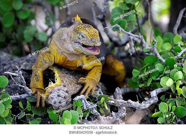 Galapagos land iguana (Conolophus subcristatus), feeding on the fruits of Opuntia, Ecuador, Galapagos Islands, Plaza Sur