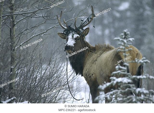 Elk Cervus elaphus, male in snow with Christmas lights entangled in antlers, Canmore, Canada