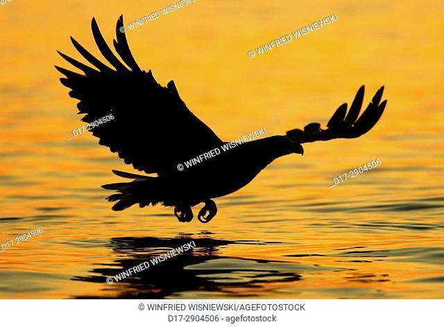 A sea-eagle is catching a fish at the Norwegian Coast. Seeadler fängt einen Fisch