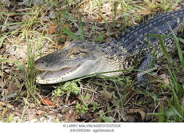 Close-up of a juvenile alligator resting in the grass of a wildlife preserve near Hilton Head, South Carolina