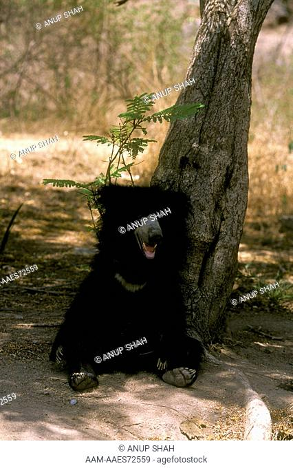 Sloth Bear (Melursus ursinus) India captive