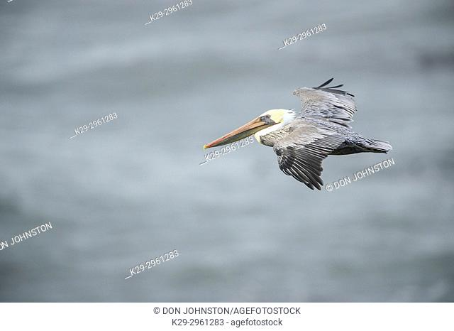 Brown pelican (Pelecanus occidentalis) in flight, Devil's Punchbowl State Scenic Area, Oregon, USA