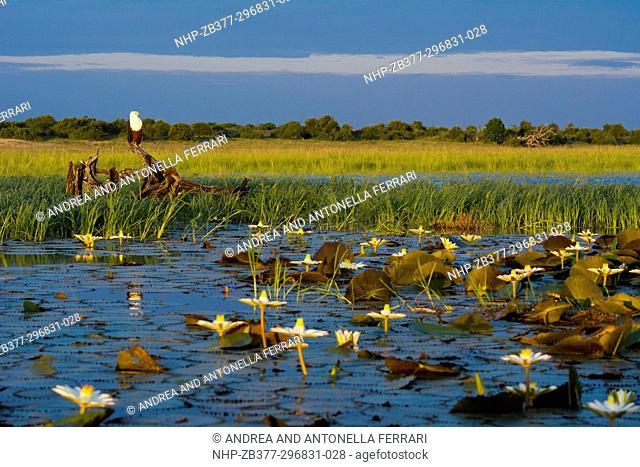 African fish eagle Haliaeetus vocifer, Chobe river, Chobe National Park, Botswana
