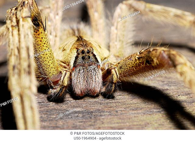 Male Wandering Spider, Ctenidae, Araneida, Arachnida
