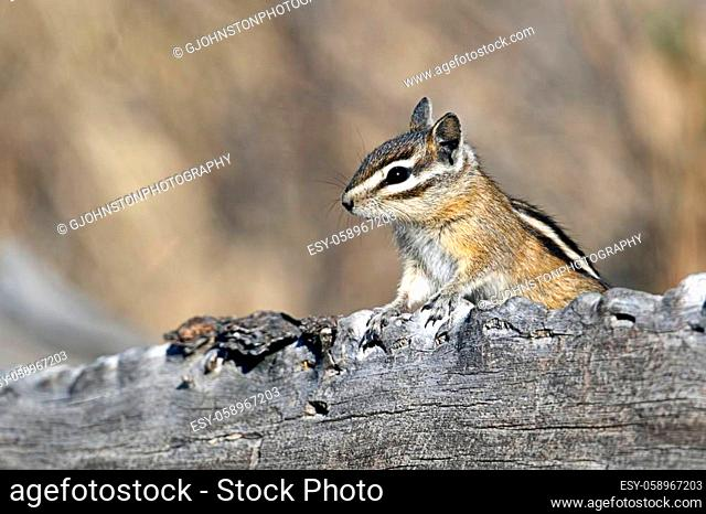 A chipmunk pops up from behind a log at turnbull wildlife refuge in Cheney, Washington
