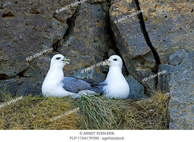 Northern fulmar / Arctic fulmars (Fulmarus glacialis) pair on ledge in rock face of sea cliff