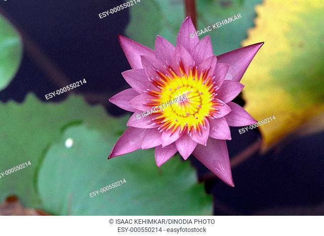 Flower , water lily , nymphaea stellata , violet purple colour , India