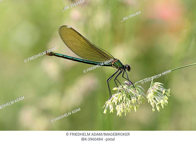 Banded Demoiselle or Banded Agrion (Calopteryx splendens), female on a blade of grass, Hühnermoor nature reserve, North Rhine-Westphalia, Germany