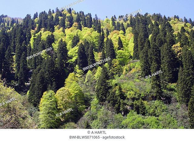 oriental beech Fagus orientalis, beech-spruce-forest in springtime in the Kackar Daglari Millipark, Turkey, Nordanatolien, Pontisches Gebirge, Trabzon