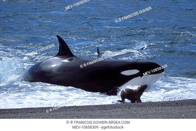 Killer Whale / Orca - Hunting South American / Southern / Patagonian Sealion (Otaria flavescens) (Orcinus orca). Valdes Peninsula, Province Chubut, Patagonia
