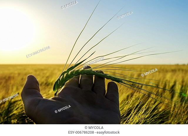 green wheat in hand