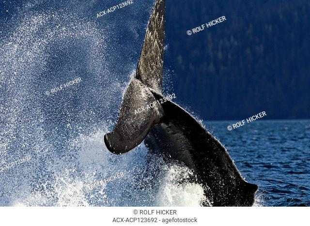 Humpback whale splashing its powerful fluke In the Broughton Archipelago, First Nations Territory, British Columbia, Canada