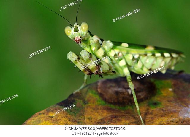 Flower mantis. Image taken at Kampung Skudup, Sarawak, Malaysia