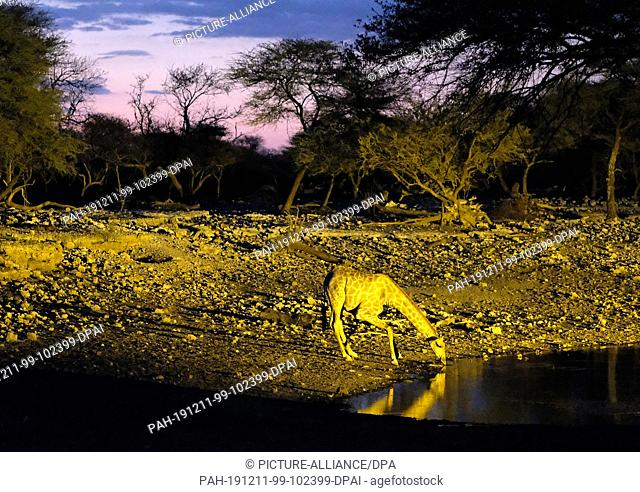 29 November 2019, Namibia, Etosha-Nationalpark: A giraffe drinks in Etosha National Park at dusk at an illuminated waterhole. Photo: Oliver Berg/dpa