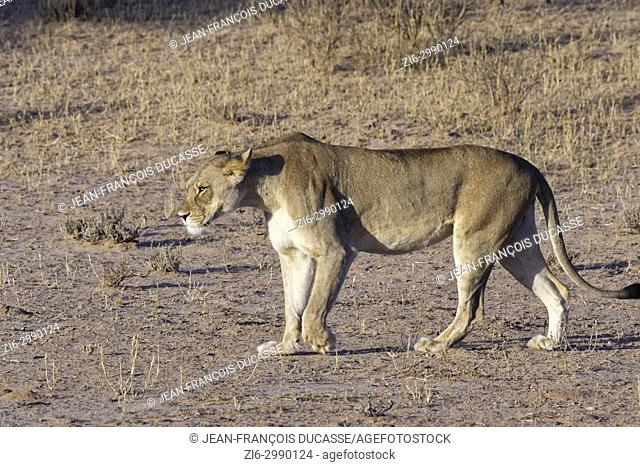 African lion (Panthera leo), lioness walking, evening light, Kgalagadi Transfrontier Park, Northern Cape, South Africa, Africa