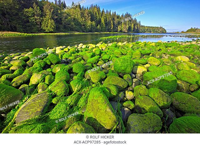 Green algea on rocks at low tide in Nimpkish River on northern Vancouver Island, British Columbia, Canada
