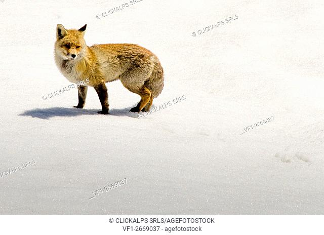 A fox in the snow. (Orco Valley, Gran Paradiso National Park, Piedmont, Italy)
