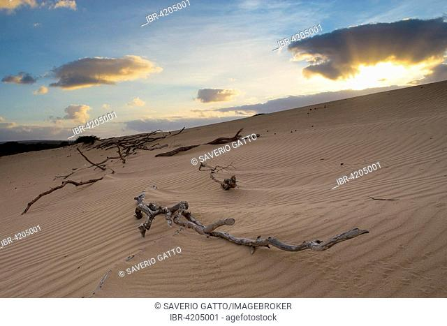Dead branches on sand dunes, landscape at dawn, Boavista, Cape Verde