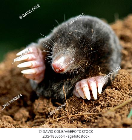 Mole Talpa europaea - the European mole - photograph in UK