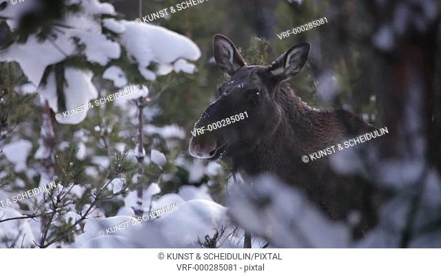 A European moose is standing in a spruce thicket on a cold winter day in Sweden. The shot was taken from a vibrating car