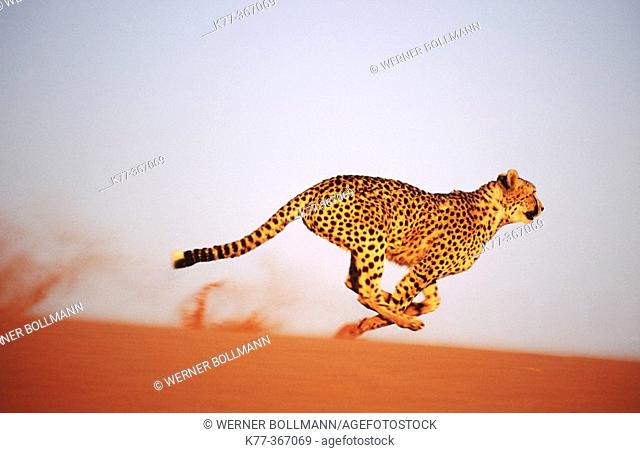 Cheetah running (Acinonyx jubatus) in captivity. Game Farm. Namibia