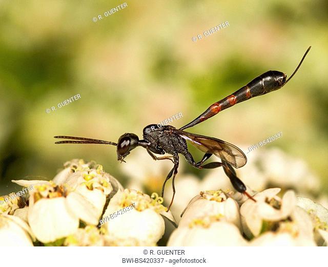 Gasteruptid wasps (Gasteruption undulatum), female foraging on Common Yarrow (Achillea millefolium), Germany