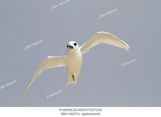 Midway , Sand Island , White Tern Gygis alba
