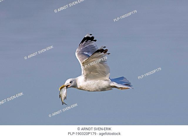 European herring gull (Larus argentatus) flying over the sea with caught fish prey in beak