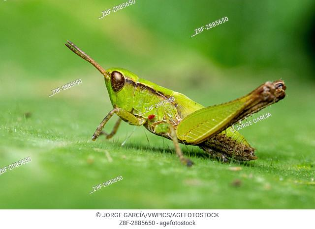 Slant-faced pasture grasshopper (Orphulella), Icononzo, Tolima, Colombia