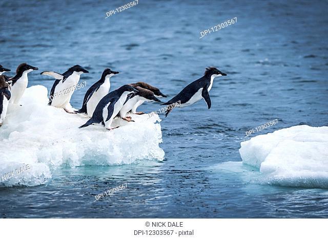 Adelie penguins (Pygoscelis adeliae) diving between two ice floes; Antarctica