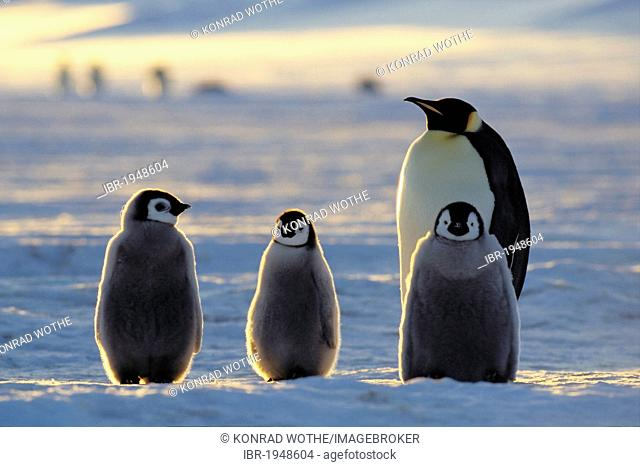 Emperor penguin (Aptenodytes forsteri) with chicks on ice shelf, Weddell Sea, Antarctica