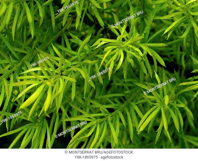 Asparagus plant foliage closeup