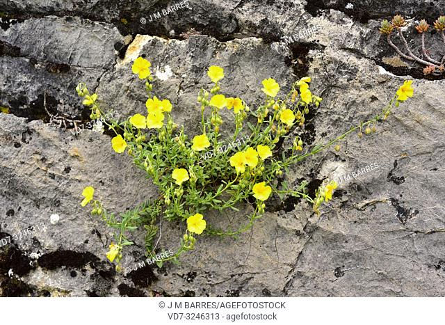 Common rock-rose (Helianthemum nummularium) is a shrub native to Europe and western Asia. This photo was taken in Babia, Leon province, Castilla-Leon, Spain