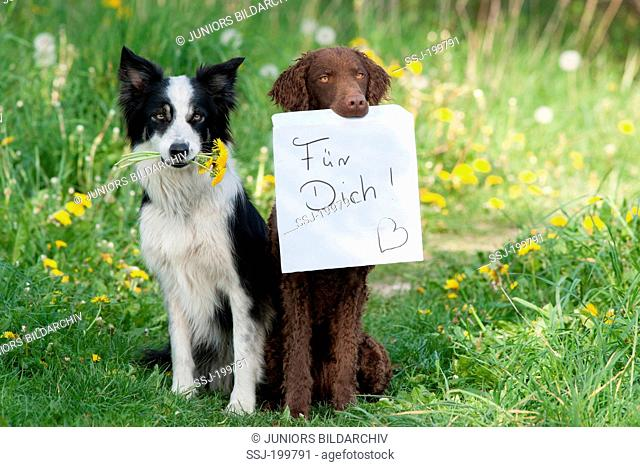 Border Collieand Curly Coated Retriever sitting next to each other. The Collie carrying Dandelion flowers, the Retriever a poster with the writing For you