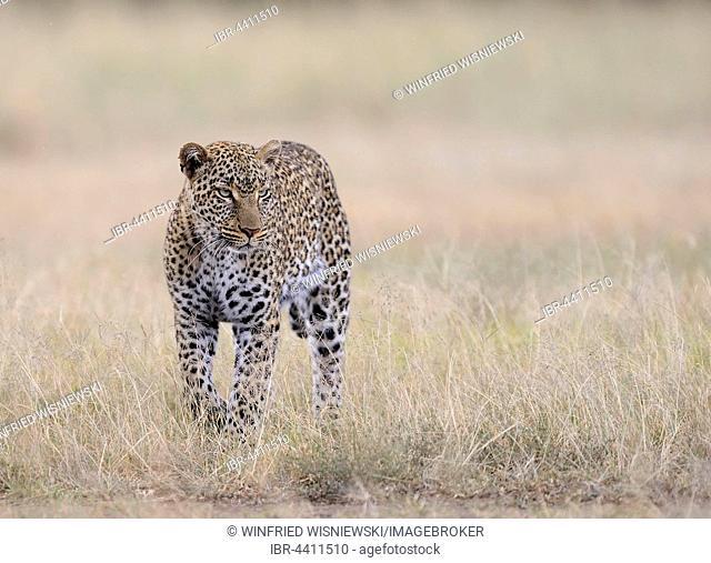 Leopard (Panthera pardus) in Savannah, light rain, Masai Mara, Kenya