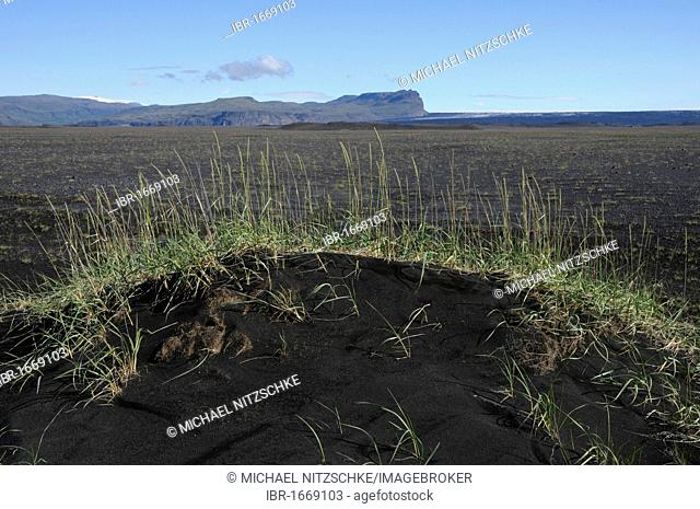 Lyme Grass (Leymus arenarius) in the lava landscape in the southwest of Iceland, Europe