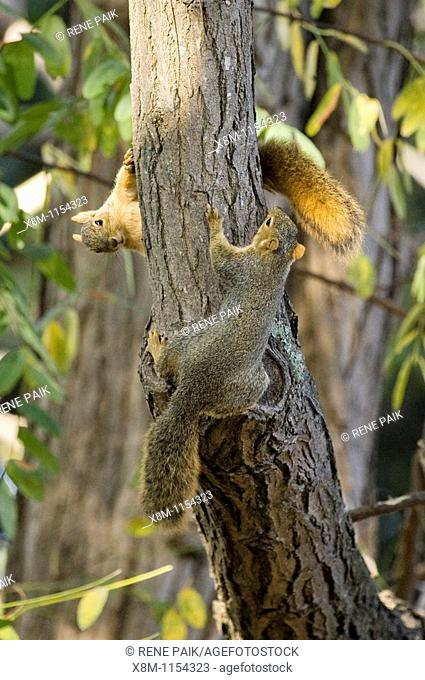Immature Fox Tree Squirrel siblings (Sciurus niger) chasing each other around the trunk of a tree
