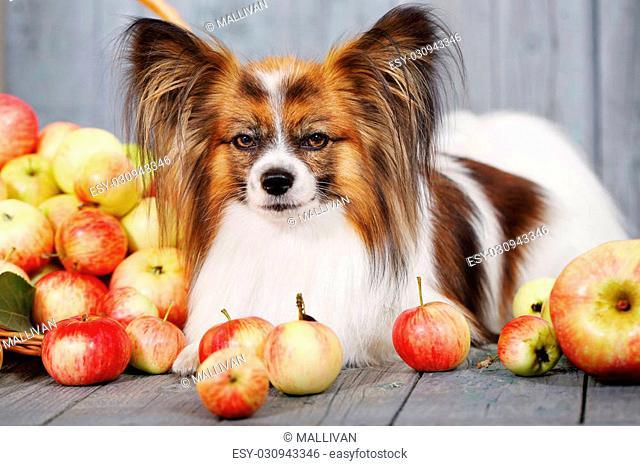 doggie breed Papillon lying near the basket with apples