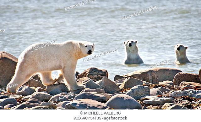 Polar Bears, Ursus Maritimus, sparring in the water, Churchill, Manitoba, Canada