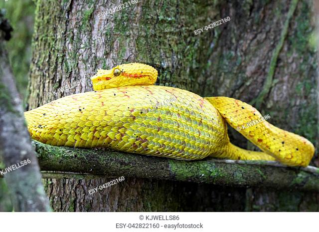 An eyelash viper (Bothriechis schlegelii) rests on a tree branch after eating a very large meal. Cahuita National Park, Costa Rica