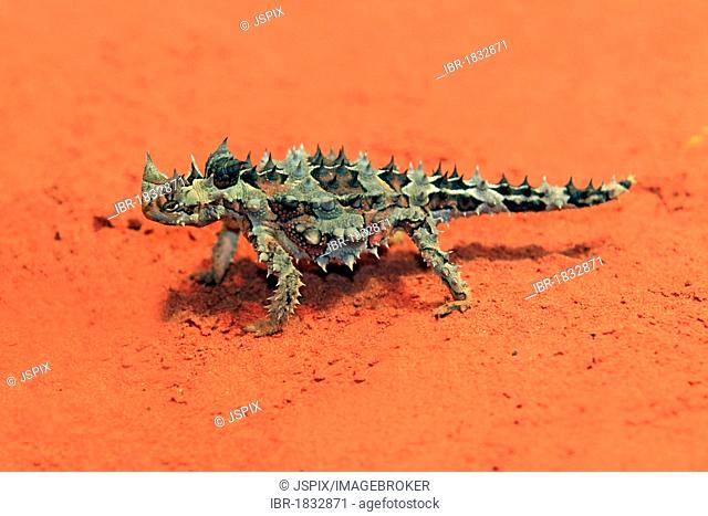 Thorny Devil, Thorny Dragon, Mountain Devil, Thorny Lizard (Moloch horridus), feeding, desert, Outback, Northern Territory, Australia