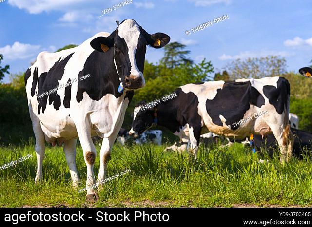 France, Indre (36), Saint-Gaultier, Bel-Air farm, breeding of Prim'Holstein dairy cows