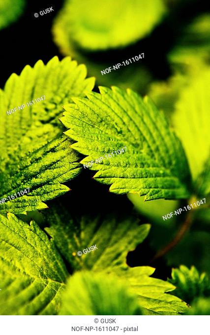 Close-up of Wild strawberry leaves