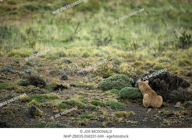 Wild Puma, Puma concolor, Torres del Paine, Chile, South America