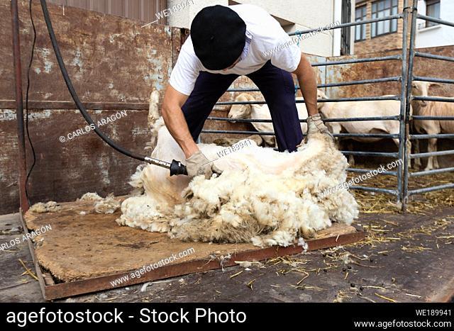 Shearer cuts wool to the sheep