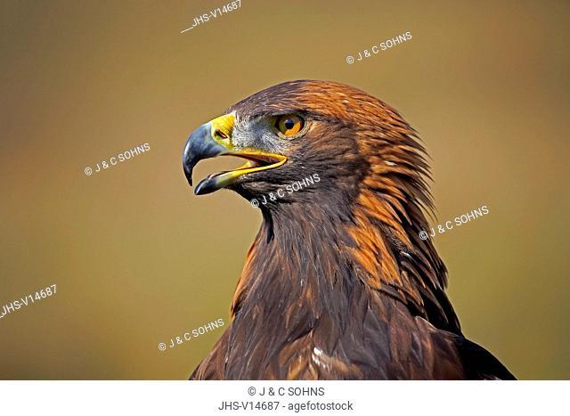 Golden Eagle, (Aquila chrysaetos), adult calling portrait, Rimavska Sobota, Slovak Republic, Europe