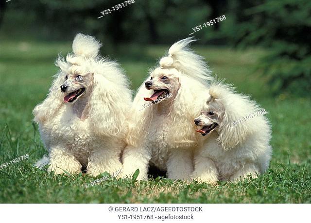 White Standard Poodle dog Sitting on Grass