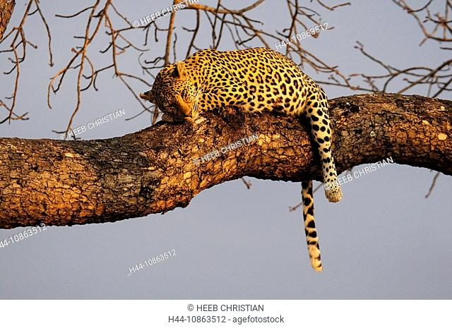 Leopard, Panthera pardus, Ulusaba Sir Richard Branson's Private Game Reserve, Sabi Sands Game Reserve, Mpumalanga, South Africa, cat, lying, tree
