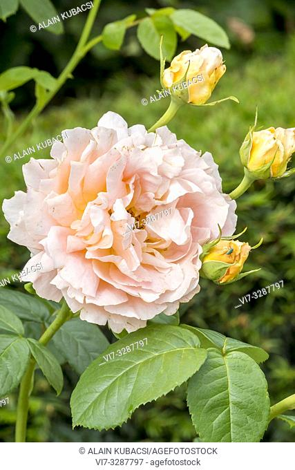 Rosa 'Polka' Breeder : Meilland (FRA) 1992
