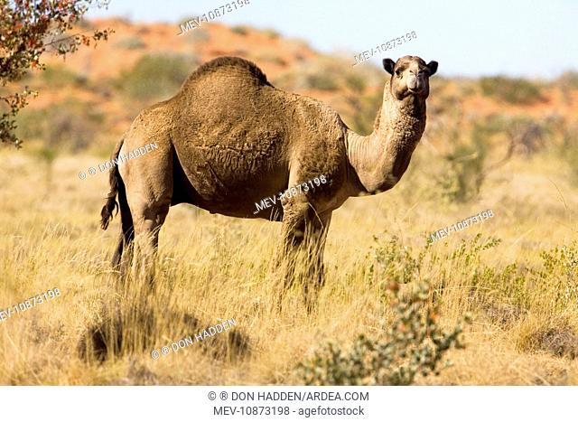 One-humped Camel / Dromedary / Dromedary Camel (Camelus dromedarius). In the Australian Outback along the Kidson Track, Western